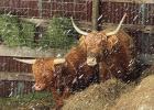 The Scottish Highland Cow